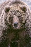 Коричневый медведь