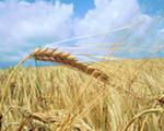 Зерновые, пшеница