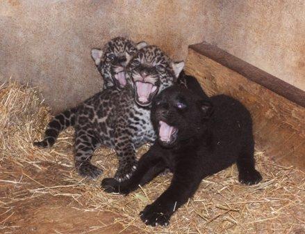 Новорожденные ягуары