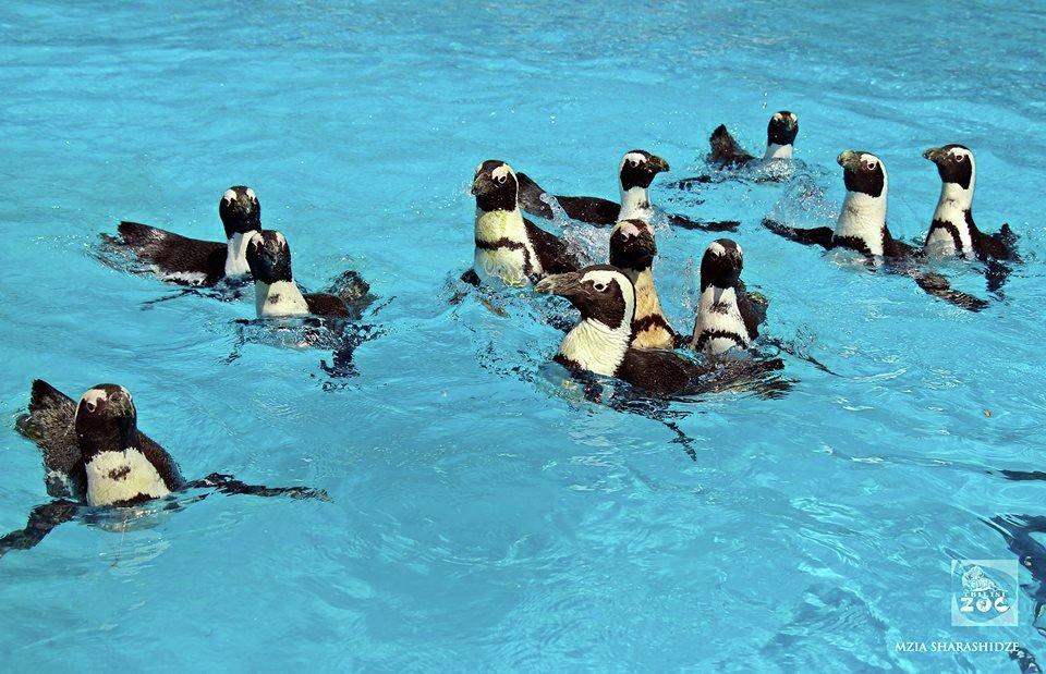 пингвины в Тбилисском зоопарке
