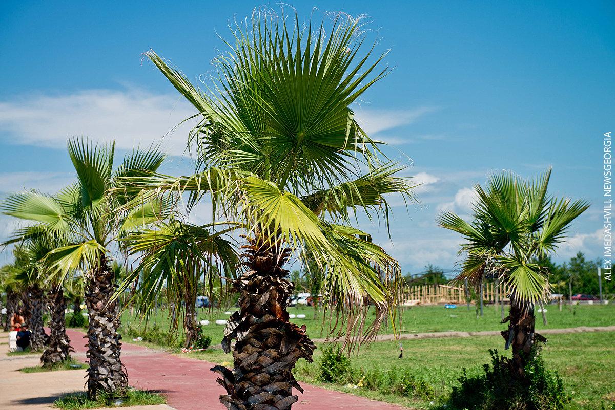 пальмы, черноморское побережье, Анаклия