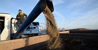 Уборка зерна культурной конопли в Новосибирской области
