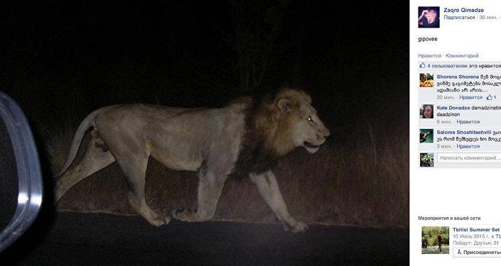 Сбежавший лев из зоопарка