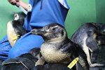 Спасение пингвинов: как биологи выхаживают приплывших к берегам Бразилии птиц