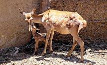 Тбилисский зоопарк. Кавказский благородный олень