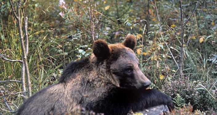 Бурый медведь на пеньке