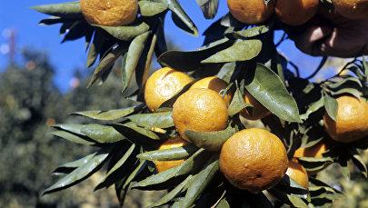 Ветка мандаринового дерева