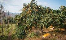 Плантация мандариновых деревьев