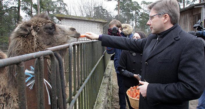 Мэр Риги Нил Ушаков кормит верблюда Вилли перед отправкой в Тбилиси