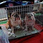Английские бульдоги, прибывшие из России на Международную выставку собак в Тбилиси.