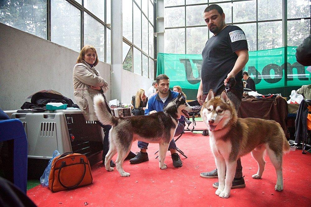 Участники Международной выставки собак в Тбилиси готовятся к выходу на ринг со своими питомцами.