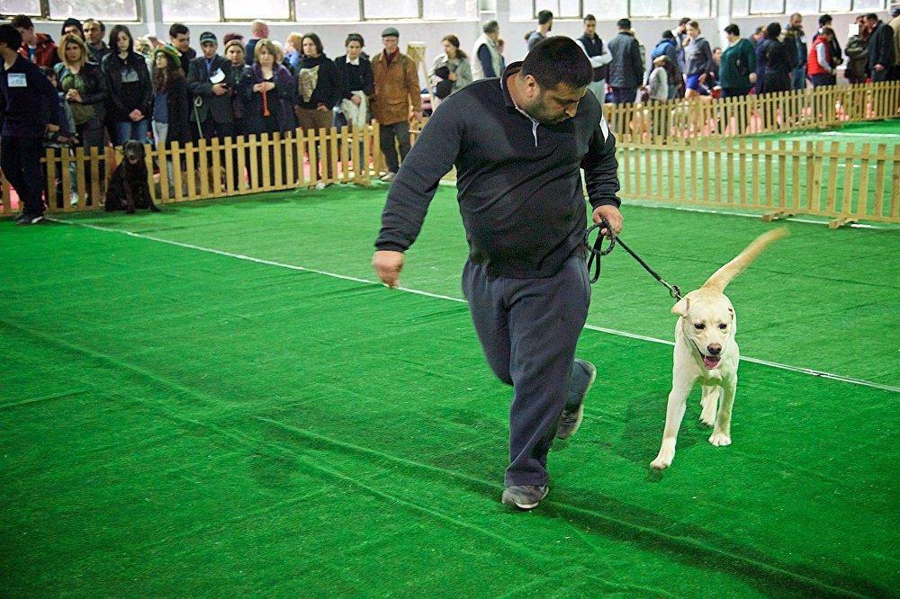 Хозяин со своим лабрадором участвует в Международной выставке собак в Тбилиси.
