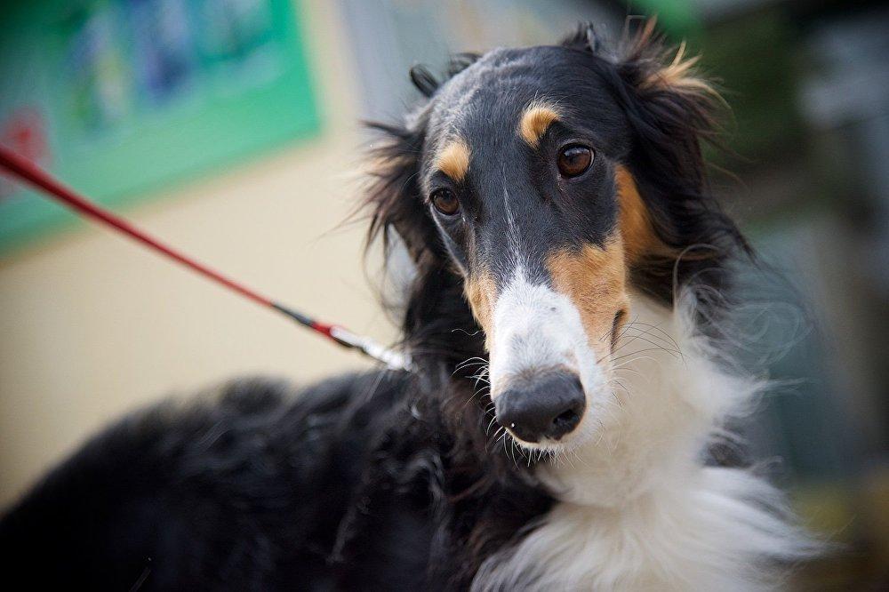Русская борзая. На выставке в Тбилиси в этом году много участников из России, которые привезли в столицу Грузии десятки собак.