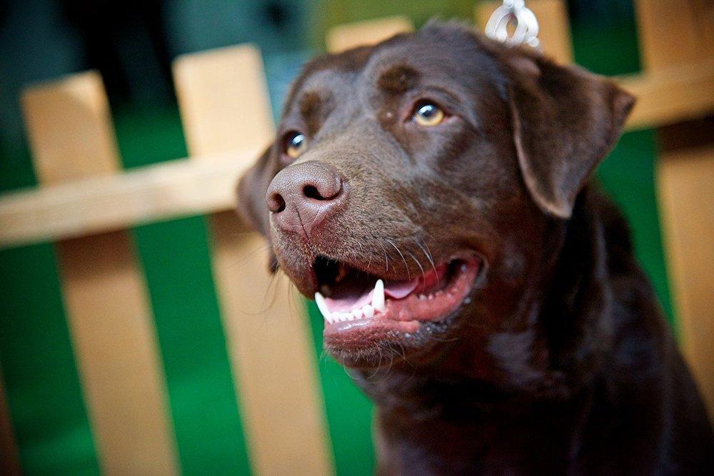 Лабрадор. Международная выставка собак в Тбилиси является всепородной.