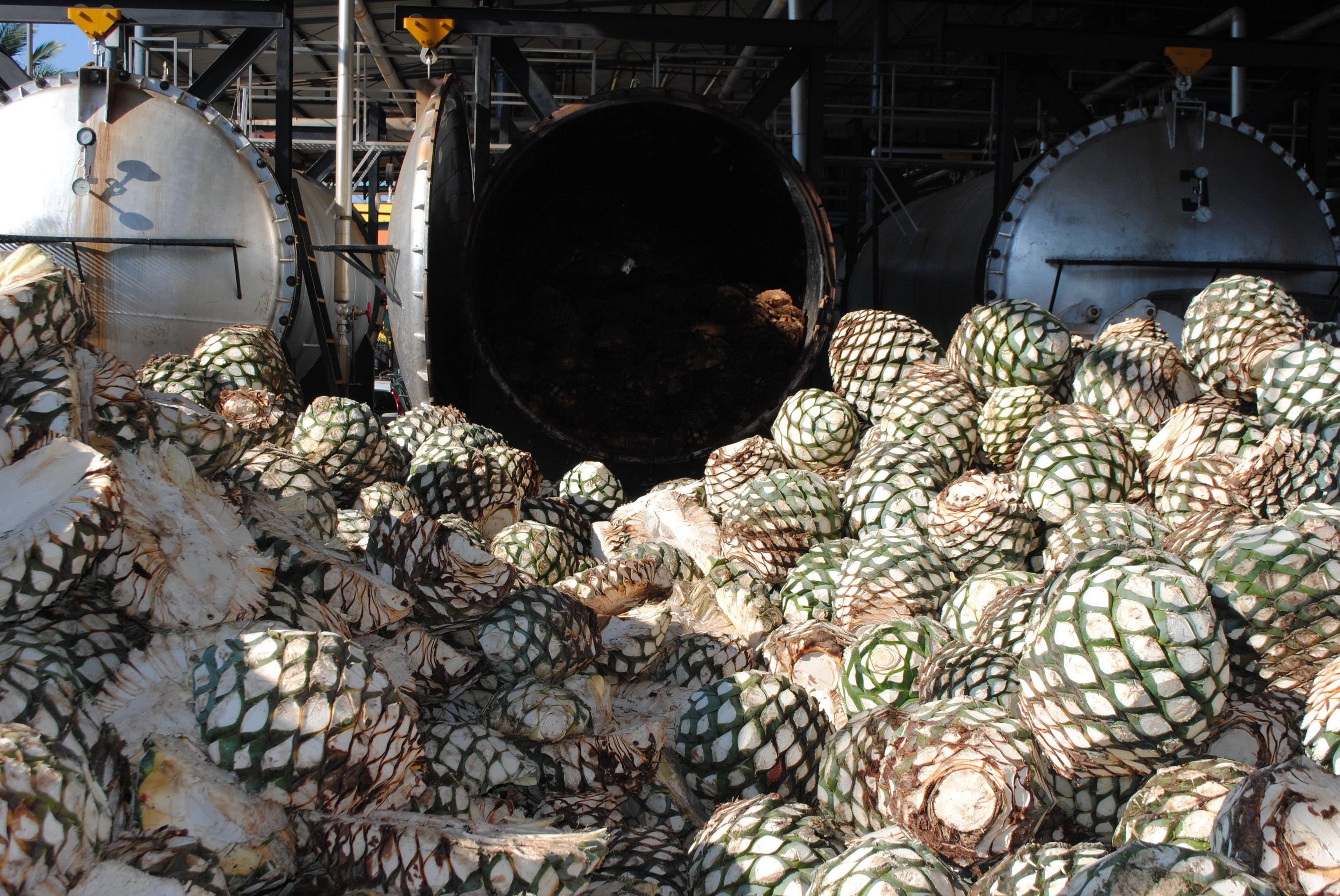 Шишки агавы для производства текилы