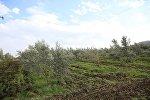 Оливковая плантация в Кахети