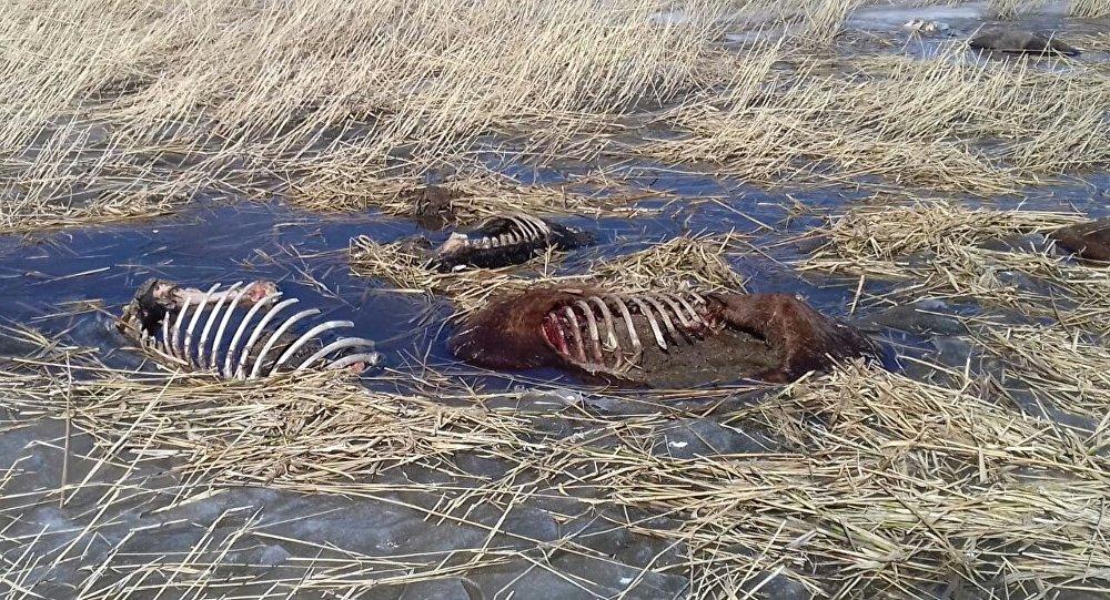 Погибшие лошади