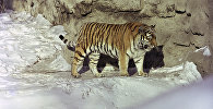 Амурский тигр (уссурийский или дальневосточный)