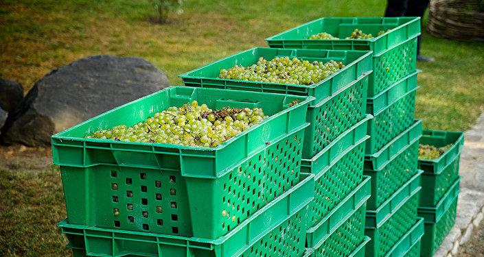 Ртвели - сбор винограда в Кахети, Кварельский район