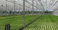 Тепличное хозяйство Imereti Greenery