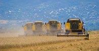 В Кахети началась уборка урожая пшеницы
