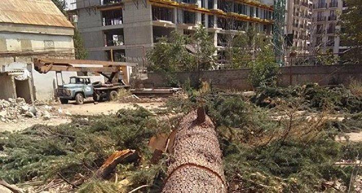 Деревья срубили на улице Казбеги