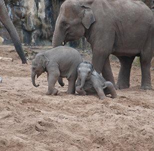 ახალგაზრდა სპილოები 15 წელი ცხოვრობენ მშობლებთან ერთად და მხოლოდ მერე ქმნიან საკუთარ ოჯახებს