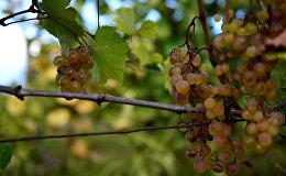 Грузинское вино: сбор урожая винограда и дегустация