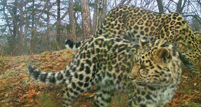 Котята леопардов в Национальном парке Земля леопардов