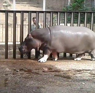 Бегемот играет с сотрудником Тбилисского зоопарка