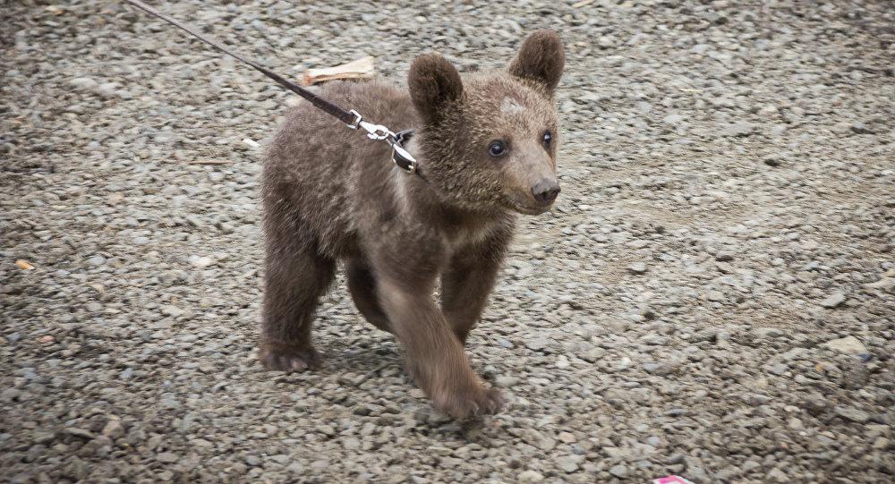 Медвежонок Давло