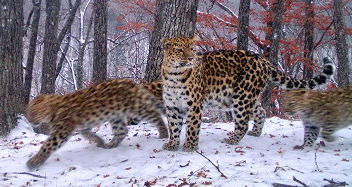 Леопардесса Умка с котятами