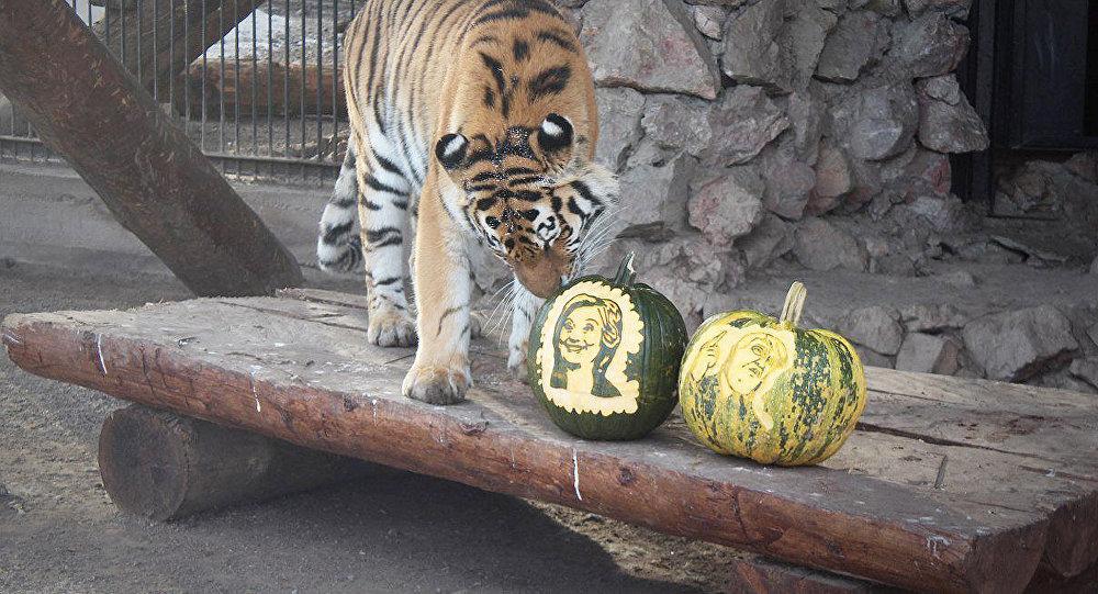 Амурская тигрица Юнона в красноярском зоопарке Роев ручей во время голосования на выборах президента США