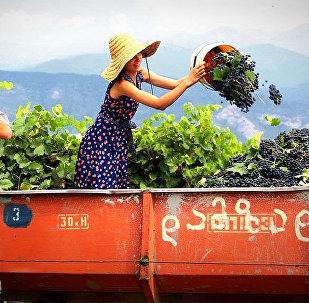Сбор урожая винограда - ртвели