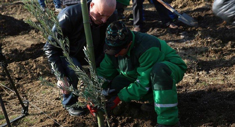 Посадка саженцев оливковых деревьев у Тбилисского моря