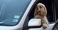 Собака в машине на месте водителя