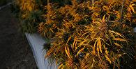 Плантации конопли в лучах утреннего солнца на ферме в Лос Суэно - самом большом месте в Америке по легальному выращиванию марихуаны