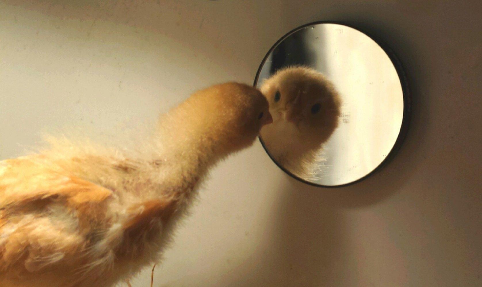 წიწილა სარკეში