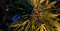Ростки конопли на самой большой в Америке легальной ферме по выращиванию марихуаны в Лос Суэносе