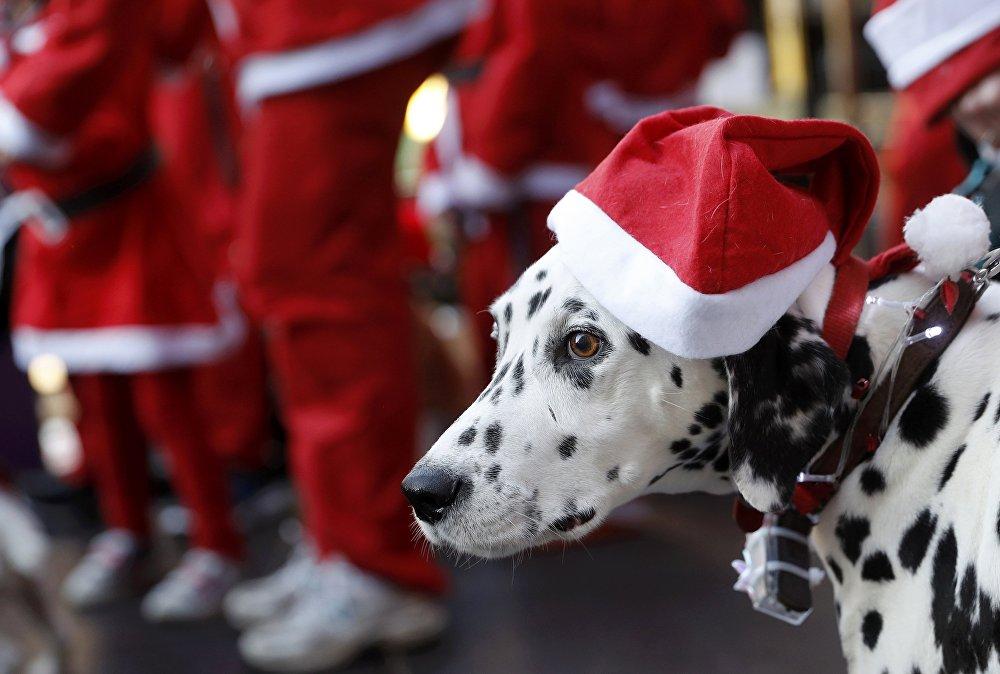 ძაღლი სანტას ქუდით პატრონთან ერთად ელის სანტების ყოველწლიური საქველმოქმედო მარათონის დაწყებას ლაფბოროში, ინგლისი