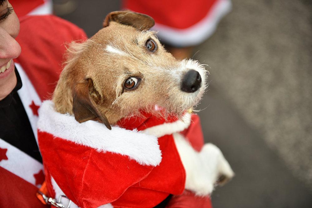 ძაღლი სანტა კლაუსის კოსტიუმით მონაწილეობას ღებულობს სანტა კლაუსების მარათონში მიჰენდორფში, გერმანია