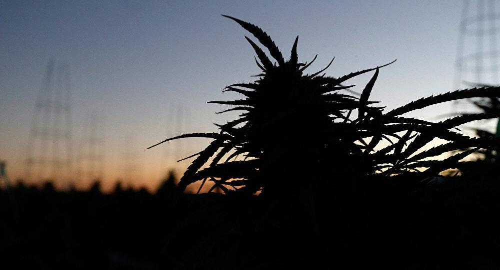 Плантация марихуаны в лучах утреннего солнца на ферме в Лос Суэносе в Америке