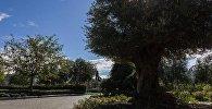 სამების ბაღის უხუცესი მკვიდრი - 400 წლოვანი ზეთისხილი