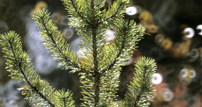 Саженцы хвойных деревьев