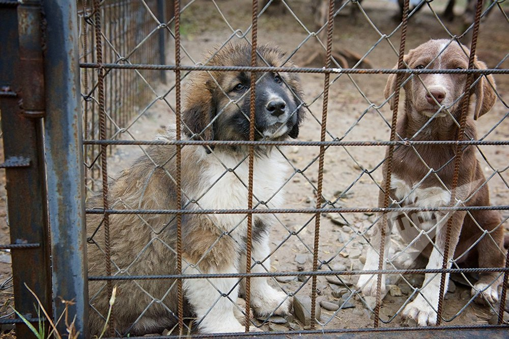 ლეკვები კავკასიური ნაგაზების ძაღლსაშენში, თბილისის ახალი ზოოპარკის ტერიტორიაზე