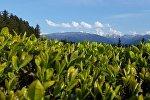 Чайная плантация в Озургети