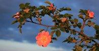 ასკილის ყვავილი