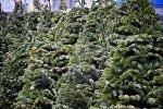 Живые новогодние елки на праздничной ярмарке