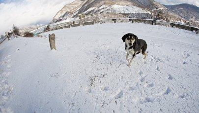 Зимой в горах : собака у Жинвальского водохранилища