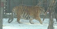 Толстые тигры в Китае